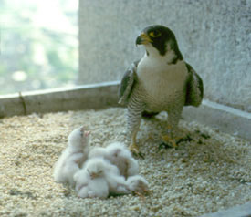 birds of prey, such as this peregrine falcon, are hatching their chicks this month