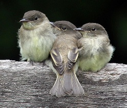 Three eastern phoebes, a small bird in the flycatcher family, huddled together on a dead branch