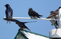 a group of purple martins perched on the top of a bird house