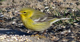 close up of a yellow pine warbler on the ground