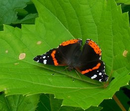 red admiral butterfly on a bright green leaf