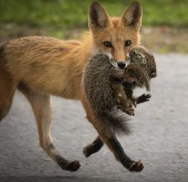 red fox trotting carrying a sizeable grey animal its mouth