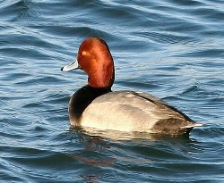 close up of a drake redhead duck on the water