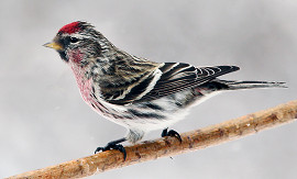 close up of a male common redpoll perched on a small branch