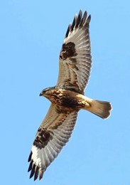 close up of a rough-legged hawk from its underside in flight against a clear, light blue sky
