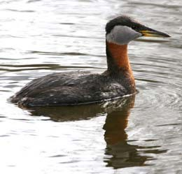 close up of a red-necked grebe on the water