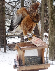 A red-shouldered hawk stealing suet out of a bird feeder