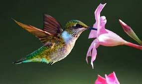 colorful ruby-throated hummingbird in flight feeding on a pink flower