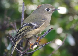 close up of a ruby-crowned kinglet, a small grey birt with a reddish spot on its head