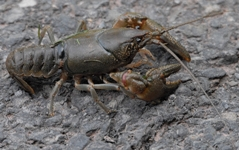 A rusty crayfish resting on a wet rock