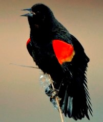 close up of a red-winged blackbird perched at the top of a thin marsh plant