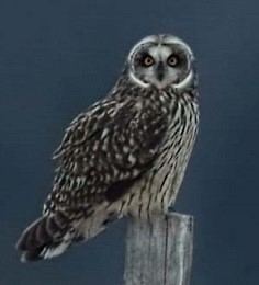 short-eared owl perched on a post against a dary blue-gray background