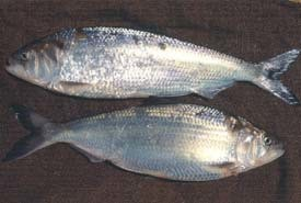 two shad