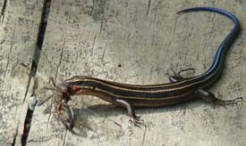 five-lined skink eating a bug