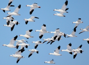 A flock of snow geese flying through the clear blue sky.