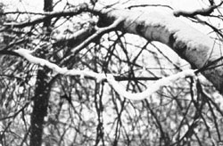 snow on birch branches