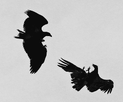 two young bald eagles in flight sparring