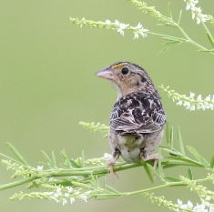 One of the smaller species of sparrows, the grasshopper sparrow, perched on a plant