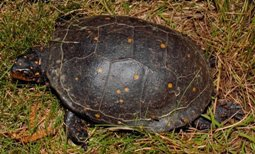 spotted turtle in the grass