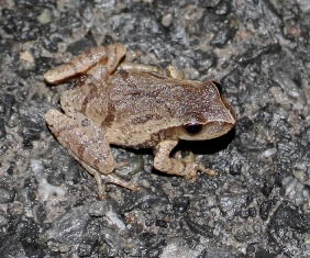 a spring peeper frog crossing the road wet during the night