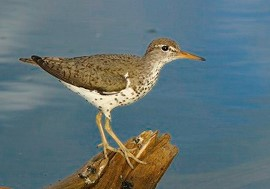 close up of a spotted sandpiper perched on a log