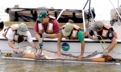 Four biologists in a boat with a sturgeon along side the boat