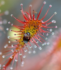 a plant, spatulate-leaved sundew close up