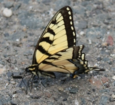 A tiger swallowtail butterfly displays its wings while resting on pavement