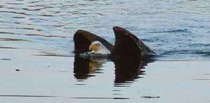 bald eagle half submerged swimming in a lake
