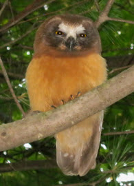 saw-whet owl perched in a tree from below