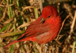 close up of a bright red summer tanager