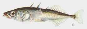 painting of a three-spined stickleback, a small fish with three dorsal spines