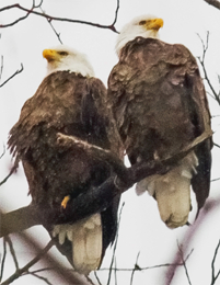 pair of adult bald eagles perched on a tree branch