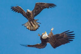 two eagles, one mature and one immature, interacting while in flight against a bright blue sky