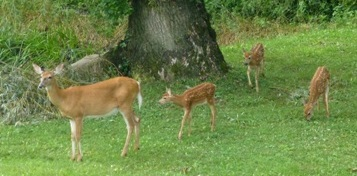 A female white-tailed deer is followed by her three young triplets