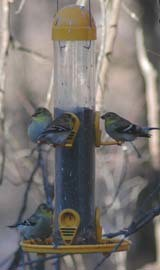 goldfinches in winter plumage on a birdfeeder