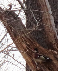 wood ducks, a hen and a drake, in a tree