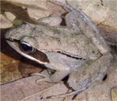 a wood frog sits on some leaf litter