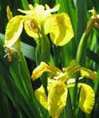 close up of the yellow flag iris