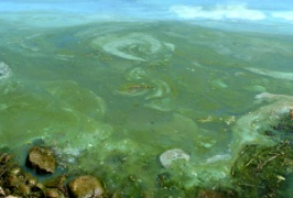 blue-green harmful algal bloom