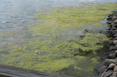 Green algae can look like floating rafts on the water, but do not produce harmful toxins.