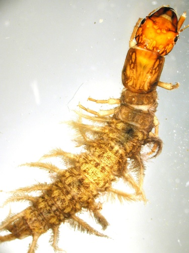 Image of dobsonfly in the Corydalus sp.