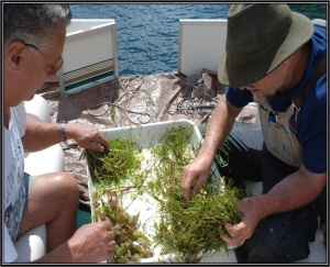 Two volunteers sorting aquatic vegetation samples in a tray