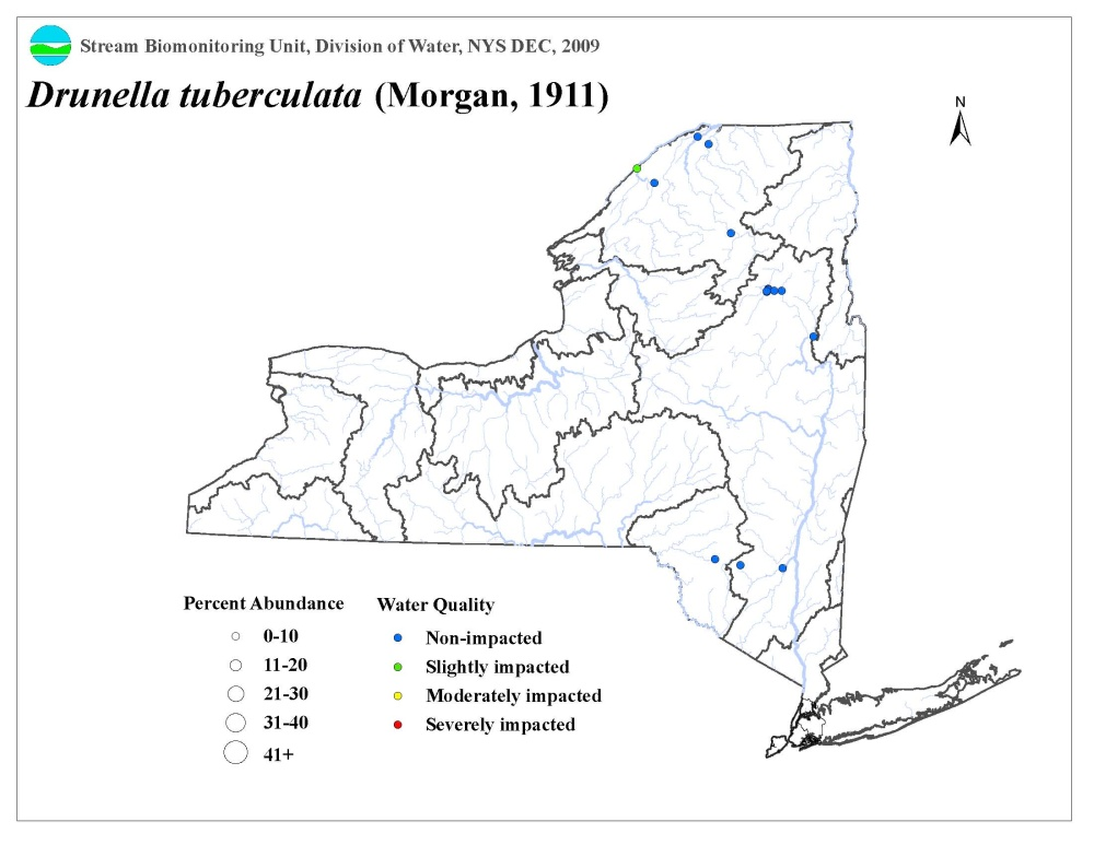 Distribution map of the Drunella tuberculata mayfly in NYS
