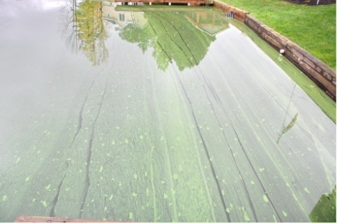 A blue-green algal bloom on a pond near the shore looks like streaks of green paint on the surface.