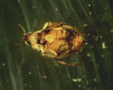 image of Haliplidae beetle