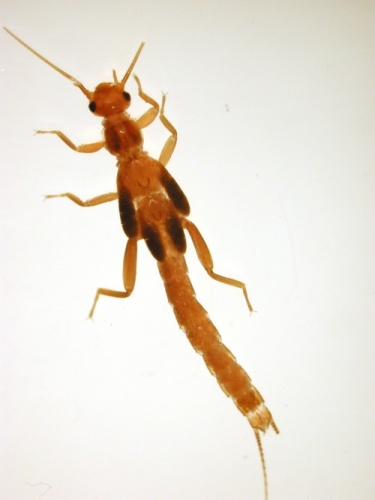 image of Leuctridae
