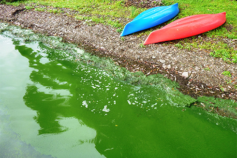 Water on the sandy shore is the color of pea soup because of a blue-green algae bloom