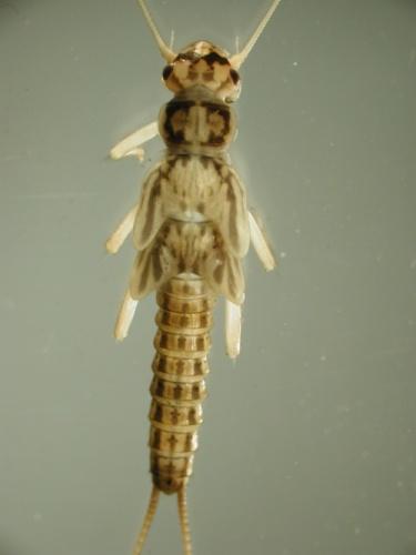 Stonefly Plecoptera Nys Dept Of Environmental