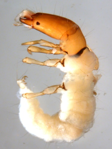 Image of caddisfly in the Philopotamidae family.